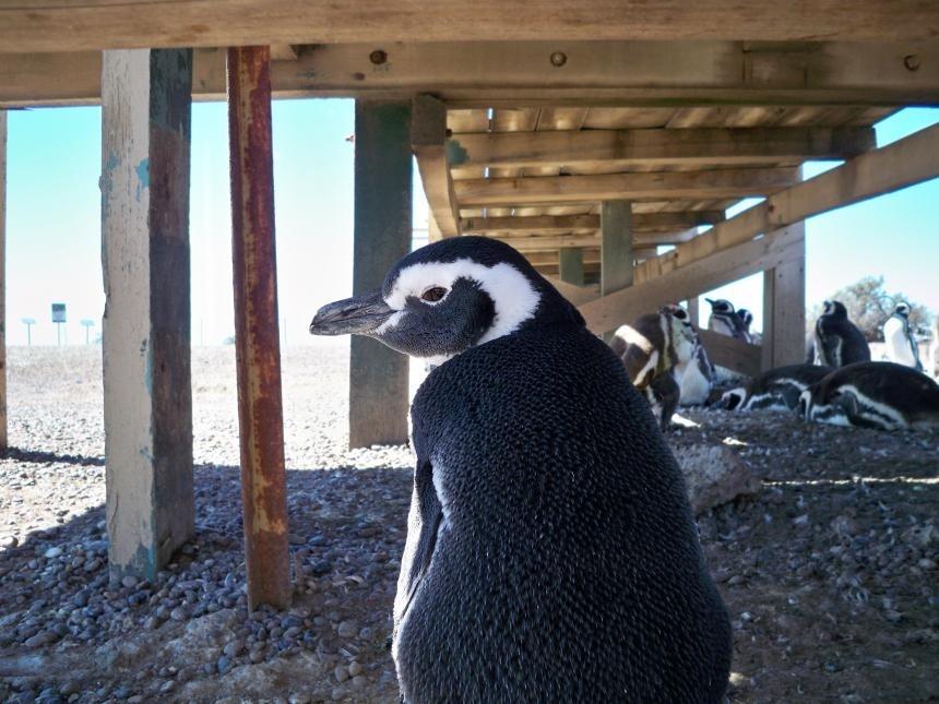 Trelew: entre pingüinos y con acento galeses