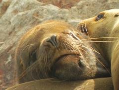 Lobos marinos, Islas Ballestas