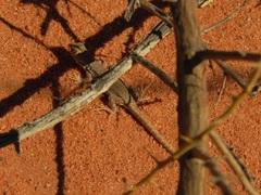 Y encontré la lagartijita