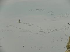 Aves en Islas Ballestas