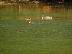 Una pareja de Macáes Gigantes, bañándose en el lago