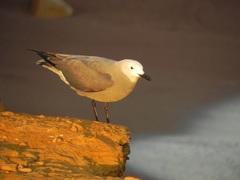 Gaviota Gris (Larus modestus) Reserva Nacional Paracas