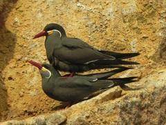 Zarcillos(Larosterna inca), Islas Ballestas