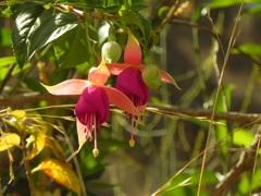 Flores de Ollantaytambo, Valle Sagrado