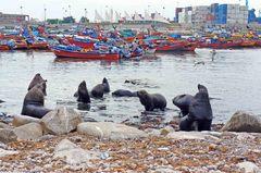 Lobos marinos, Iquique