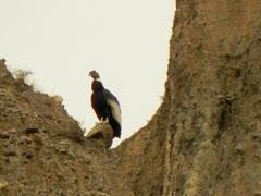 Cóndor andino (Vultur gryphus) en Iruya, Jujuy