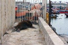 Un lobo marino reposando en el puerto de Iquique