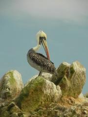 Pelicano (Pelecanus thagus), Islas Ballestas