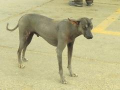 El famoso perro peruano