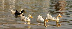 Unos patos nadando en el Parque Fundidora