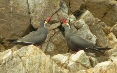 Zarcillos (Larosterna inca) Islas Ballestas