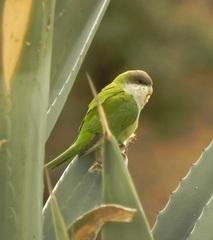 Catita serrana (Psilopsiagon aurifrons) en Iruya, Jujuy