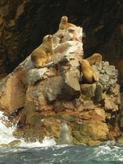 Lobos marinos (Otaria flavescens), Islas Ballestas