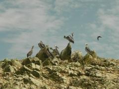 Pelicanos (Pelecanus thagus), Islas Ballestas