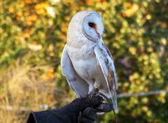 "Lechuza común (Tyto alba) en italiano ""barbagianni"" ;)"