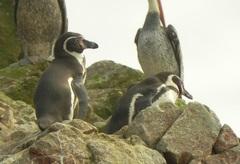Pingüinos de Humboldt (Spheniscus humboldti), Islas Ballesta