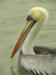 Pelicano, Paracas