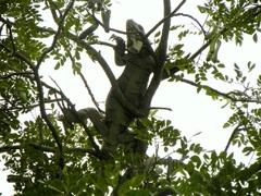 Una iguana descansando sobre un árbol