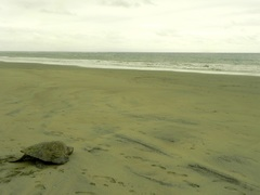 Tortuga golfina (Lepidochelys olivacea)