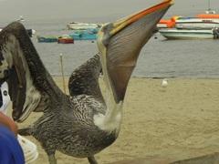 Pelicano alimentándose, Paracas