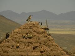 Pájaro carpintero en Calota Baja, Bolivia