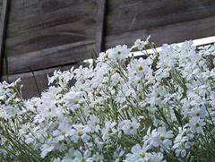 Delicadas flores blancas