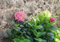 Hortensia rosa apoyada en un muro de piedra