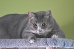 Bugs, otro de los gatos del café