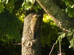 Pájaro carpintero en Ituzaingó