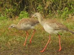 Chuña de patas rojas (Cariama cristata) en Parque El Rey
