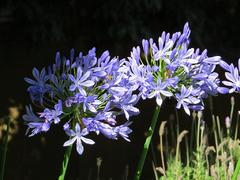 Las preciosas flores De Agapantos o Flor del Amor