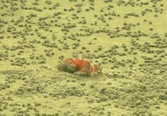 Cangrejos en las playas de Portete
