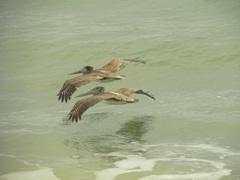 Pelícanos en Ecuador