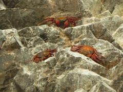 Cangrejos rojos de Islas Ballestas, Paracas