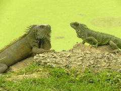 Iguanas de Ecuador