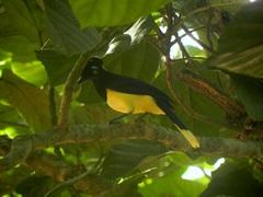 Urraca común (Cyanocorax chrysops) en Parque Nacional Iguazú