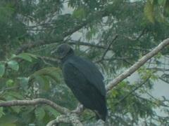 Jote Cabeza Negra (Coragyps atratus) en Iguazú