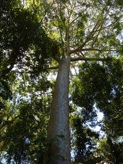 Selva en Cairns
