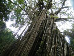 Fig Tree en Yungaburra