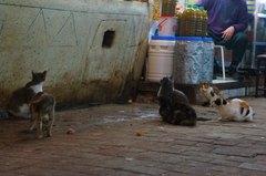 Gatos callejeros en la medina de Fez, Marruecos