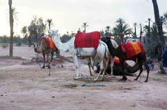 Camellos en el Palmerai, Marrakech