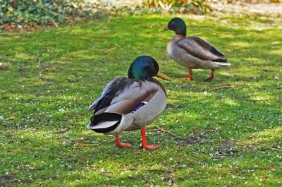 Patos en el Slottsrädgarden, Malmö