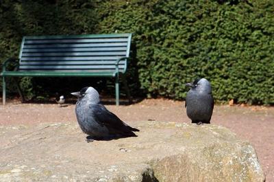 Cuervos en el Slottsrädgarden, Malmö