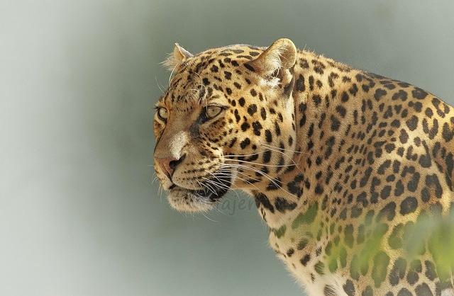 large.640832116_Leopardoenfrica.jpg.f2ec90e0f38cf59903311ebd0cc1744c.jpg