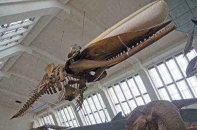 Esqueleto de una ballena en el Museo de Historia Natural de Londres