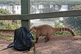 Curioso Coatí en el Parque Iguazú.jpg