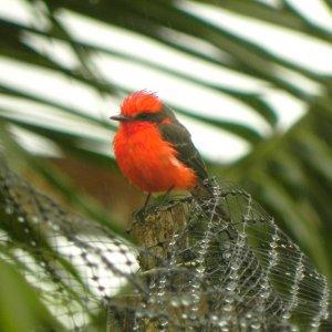Churrinche ecuatoriano (Pyrocephalus rubinus)