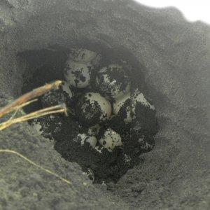 Huevos de Tortuga golfina (Lepidochelys olivacea)