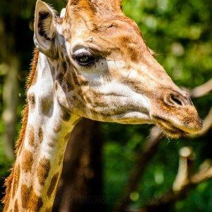 giraffe-556023_1280.jpg