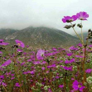 Flores desierto de Atacama
